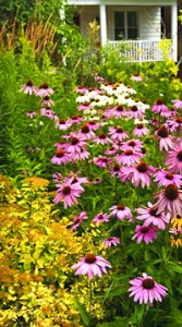 Purple Coneflower in a garden setting