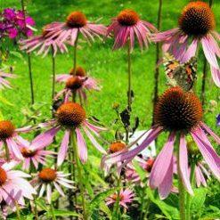 123rfpurpleconeflower