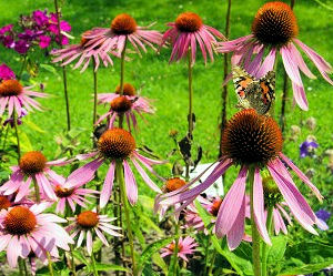 Purple Coneflower with Painted Lady Butterflies