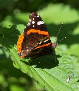 Red Admiral Butterfly on Nettle