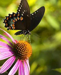 123rfswallowtailpurpleconeflower