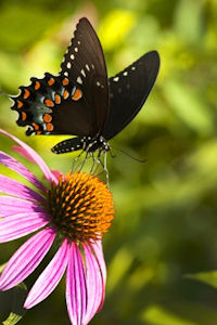 Spicebush Swallowtail butterfly on Purple Coneflower