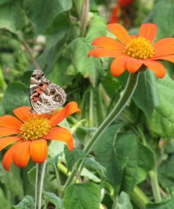 American Lady Butterfly on Tithonia