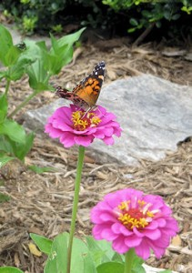American Lady butterfly on Zinnia