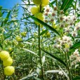 Balloon Plant Milkweed seed pods and flowers