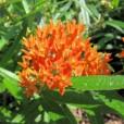 asclepiastuberosaflowers