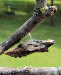 Brown Black Swallowtail butterfly chrysalis