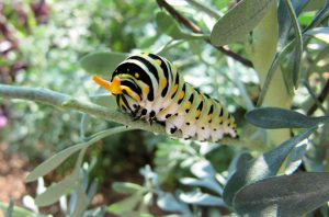 Black Swallowtail caterpillar on Common Rue