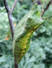 Black Swallowtail butterfly chrysalis