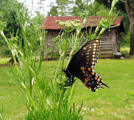 Black Swallowtail Butterfly Laying Eggs on Parsley Flowers