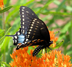 Female Black Swallowtail visiting orange butterfly weed