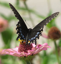 Black Swallowtail butterfly on Zinnia Pumila