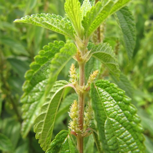 False Nettle Plant from seeds