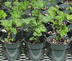 buymalvasylvestrisplants