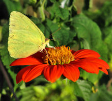Cloudless Sulphur Butterfly attracted to Tithonia