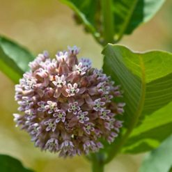 A Beautiful Common Milkweed (Asclepias syriaca) Bloom