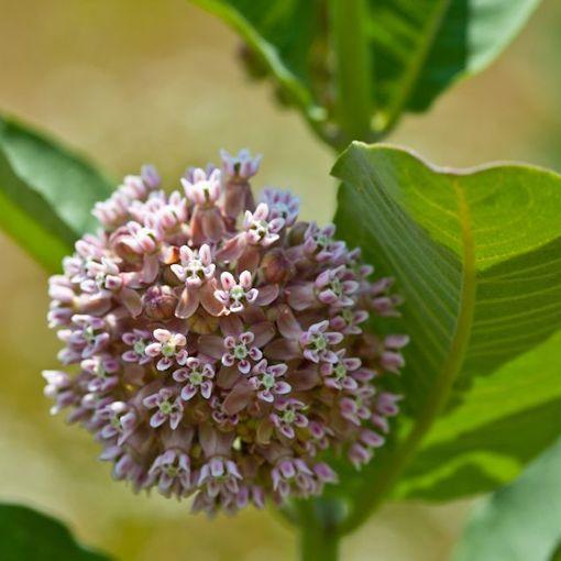 A Beautiful Common Milkweed (Asclepias syriaca) Bloom
