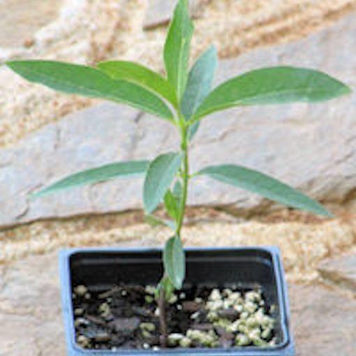 Common Milkweed Plant (Asclepias syriaca)