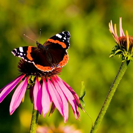 A Red Admiral butterfly visits Echinacea purpurea