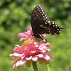 Female Black Swallowtail Butterfly on Zinnia