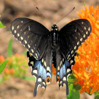 female Black Swallowtail butterfly sipping nectar from milkweed