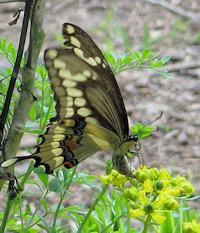 Female Giant Swallowtail laying eggs on rue - Ruta graveolens