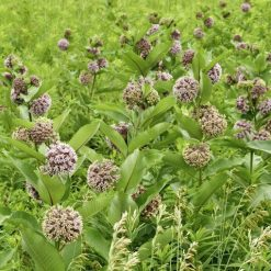 Field of Common Milkweed (Asclepias syriaca) for the Monarchs