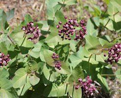 flickrdavidhofmann08asclepiascordifolia