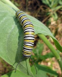 A Monarch caterpillar munching on Showy Milkweed