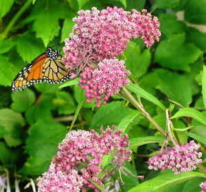 Monarch Butterfly on Swamp Milkweed Plant flowers