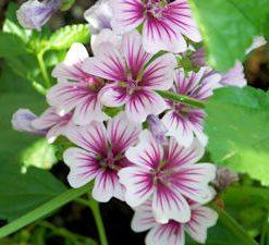 flowergardengirlmalvazebrina