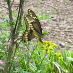 Giant Swallowtail Butterfly Laying an Egg on Rue