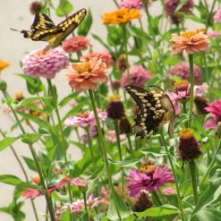 Giant Swallowtail Butterflies Visiting Zinnias in a Butterfly Garden