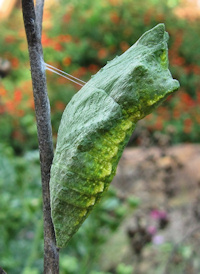Green form of a Black Swallowtail Butterfly Chrysalis