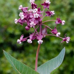 heartleaf milkweed seed flower