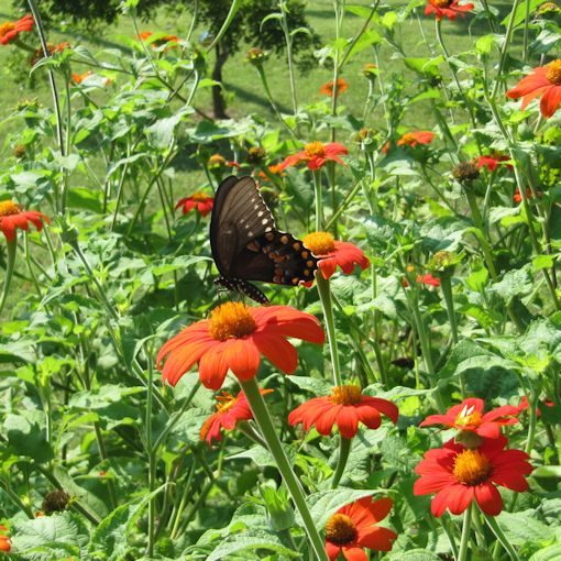 Mexican Sunflower in a Butterfly Garden with a Black Swallowtail Butterfly