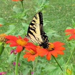 Mexican sunflowers with a tiger swallowtail butterfly
