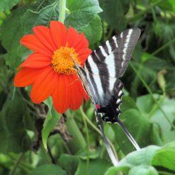 Zebra Swallowtail Visisting Mexican Sunflower