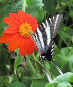 Zebra Swallowtail Visisting Mexican Sunflower