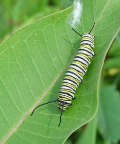 Monarch Caterpillar on Asclepias syriaca