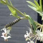 Monarch Caterpillars eating Balloon Plant Milkweed