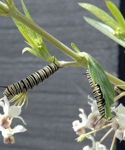 Monarch Caterpillars eating Balloon Plant Milkweed