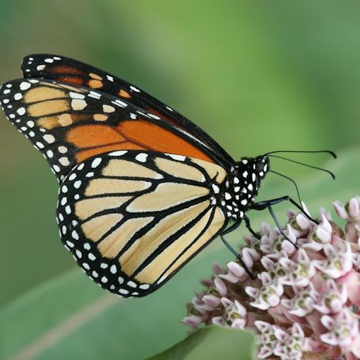Monarch Butterfly on Common Milkweed Flowers