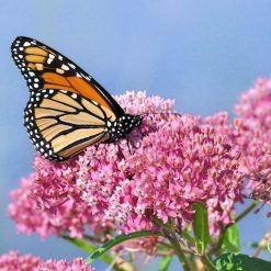 Monarch Butterfly sipping Swamp Milkweed nectar
