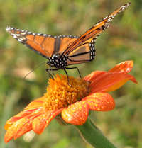 monarchontithonia