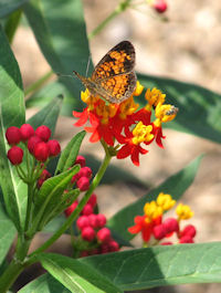 Pearl Crescent Butterfly nectaring on Asclepias curassavica