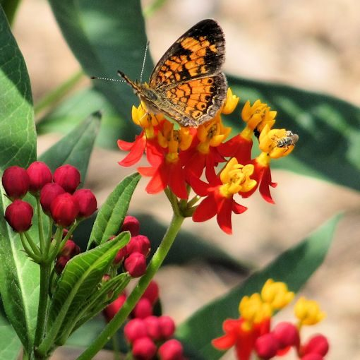 Pearl Crescent Butterfly on Tropical Milkweed