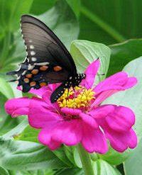 pipevineswallowtailonzinnia