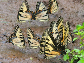 Tiger Swallowtail Butterflies attracted to a mud puddle