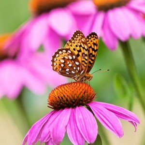 Great Spangled Fritillary butterfly on Purple Coneflower